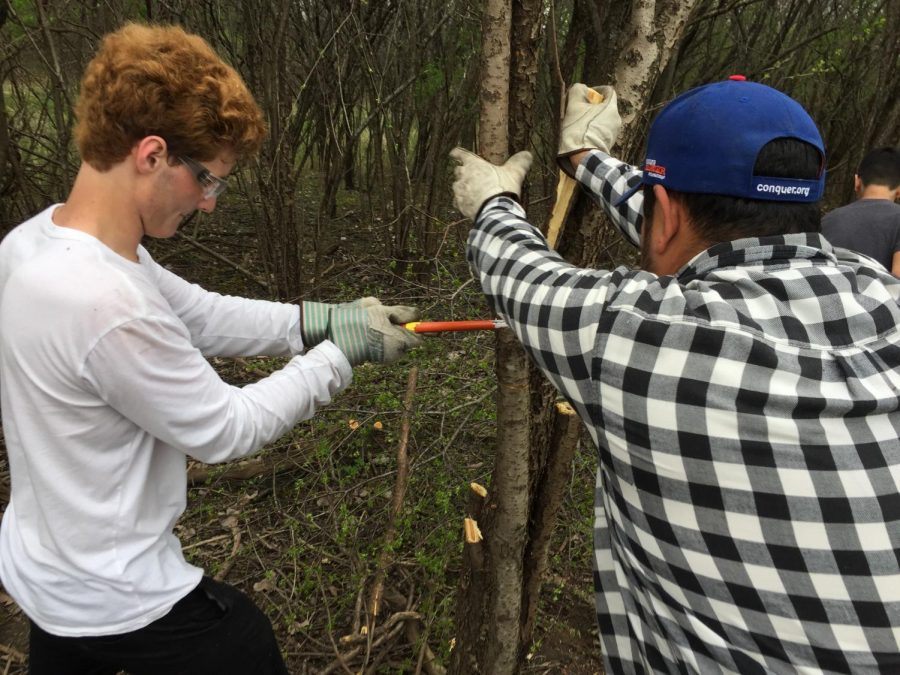 Elliot Jerutis and forest preserve volunteer cutting down Buckthorn | NT News